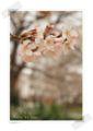 2013.3.24桜3