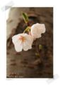 2013.3.24桜1