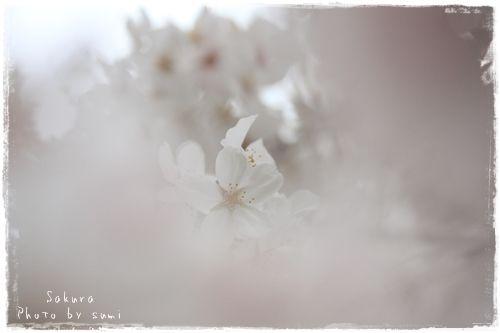 2013.3.29桜3