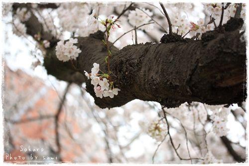 2013.3.29桜2