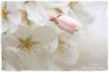 2013.3.29桜1
