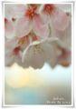 2013.4.9桜7