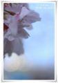 2013.4.9桜5