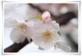2013.4.9桜4