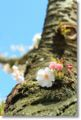 2013.4.14思川桜7