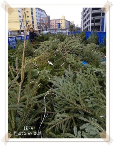 2013.11.25モミの木2