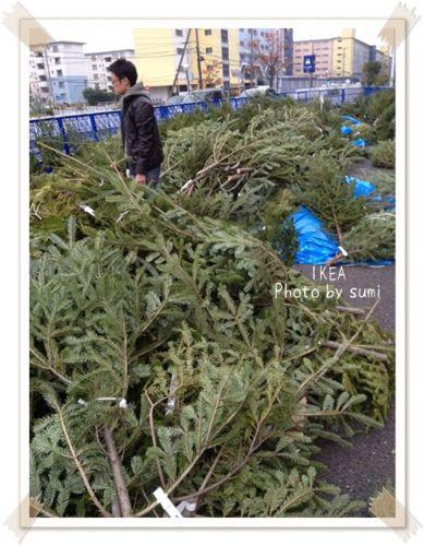 2013.11.25モミの木1