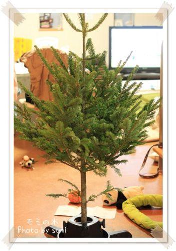 2013.11.25モミの木3