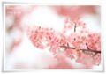 2014.03.19河津桜2