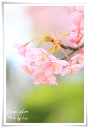 2014.03.19河津桜1
