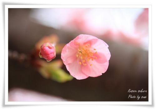 2014.03.19河津桜4