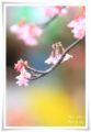 2014.03.19河津桜5