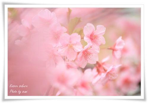 2014.03.19河津桜7