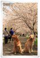 2014.04.05お花見4