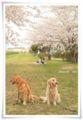 2014.04.05お花見2