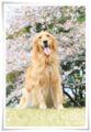 2014.04.06桜4