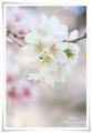 2014.04.07桜2