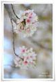 2014.04.07桜1