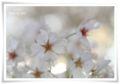 2014.04.07桜5