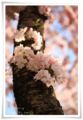 2014.04.12思川桜11