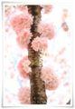 2014.04.12思川桜10