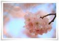 2014.04.12思川桜6