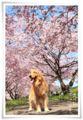 2014.04.12思川桜3