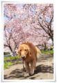 2014.04.12思川桜2