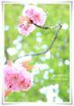 2014.04.18八重桜6