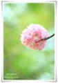 2014.04.18八重桜5