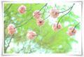 2014.04.18八重桜4