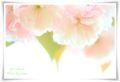 2014.04.18八重桜3