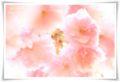 2014.04.18八重桜2