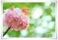 2014.04.18八重桜1