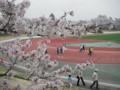 桜@武蔵野市陸上競技場