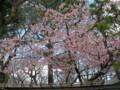 大寒桜@牧野記念庭園