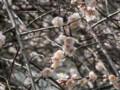 桜の季節になってまいりました(注:画像は梅です)