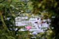 京都新聞写真コンテスト 琵琶湖カンムリカイツブリ