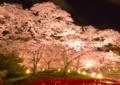 京都新聞写真コンテスト チューリップとサクラ