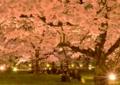 京都新聞写真コンテスト 夜桜も宴も満開