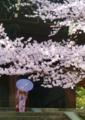 京都新聞写真コンテスト 桜の木の下で