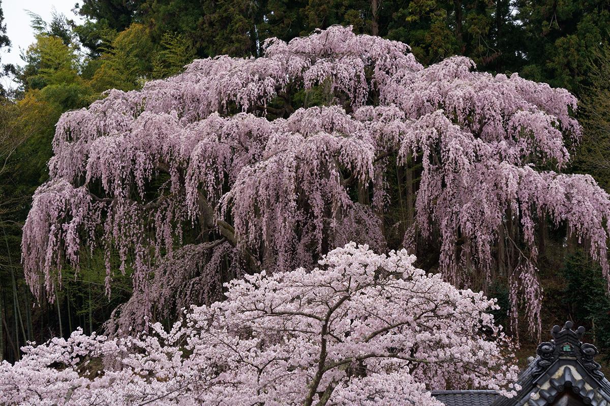 三春・福聚寺の枝垂れ桜