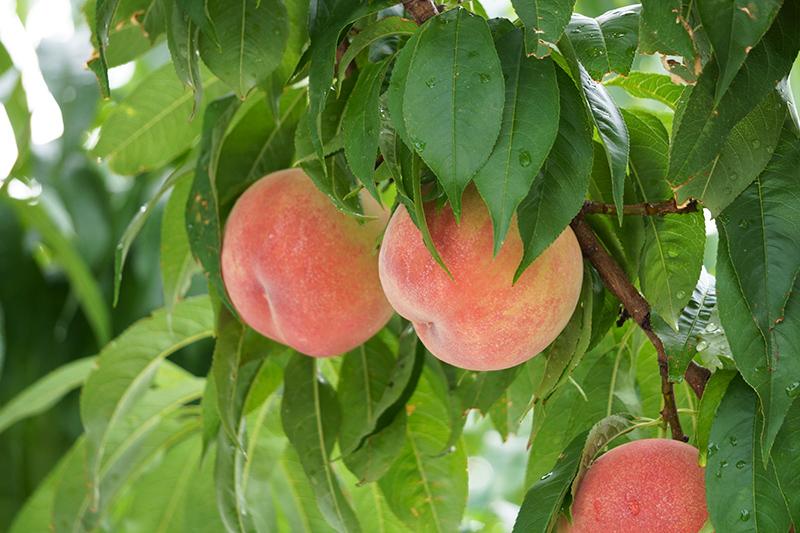 まるせい果樹園の桃