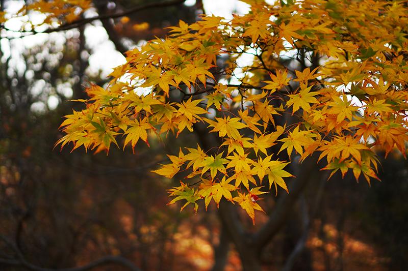 信夫山公園の黄色いカエデ
