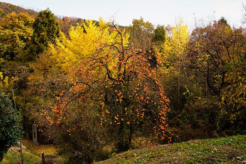 信夫山の柿の木