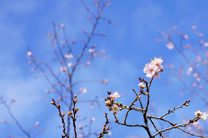 薬王院の十月桜