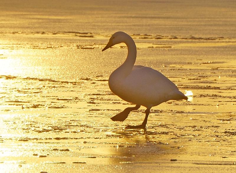 氷の上を歩く白鳥