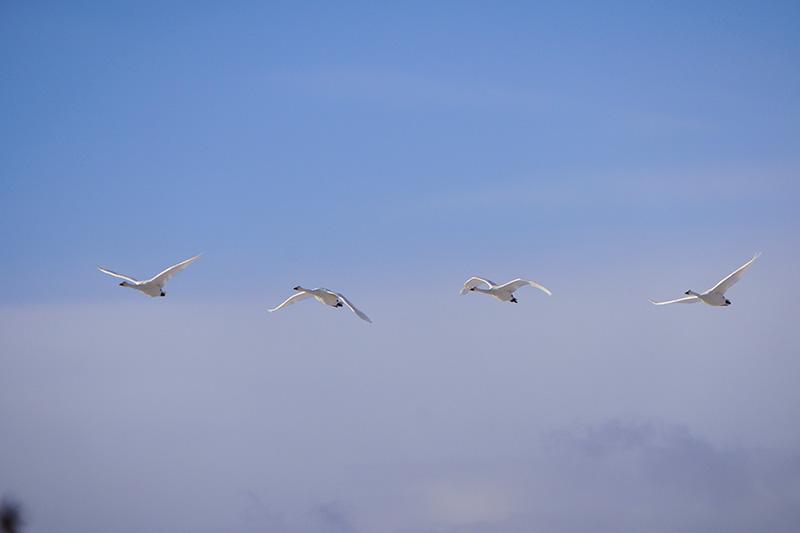 飛んでゆく白鳥の群れ