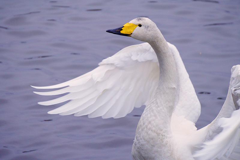 冬にやってくる白鳥