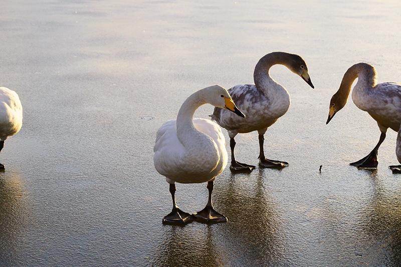 岸辺の白鳥